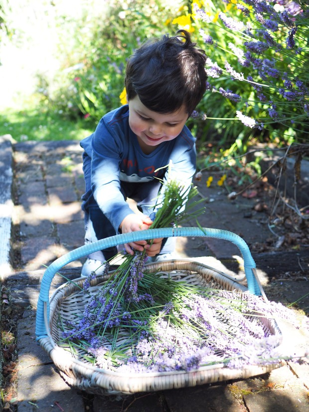 picking lavender